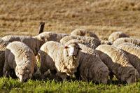 Заказать Овцеводство